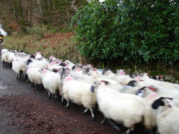 sheep being chased out of Belstone