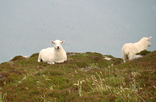 Sheep on Lundy cliff top