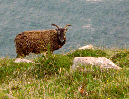 Soay sheep on Lundy cliff top